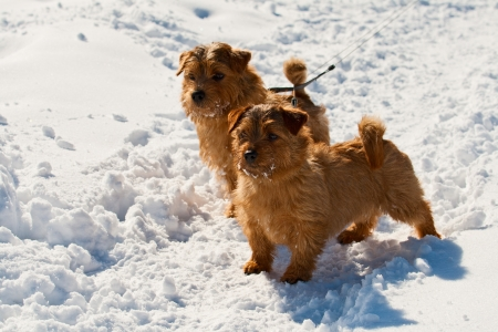 Two Norfolk Terriers on walk in the winter