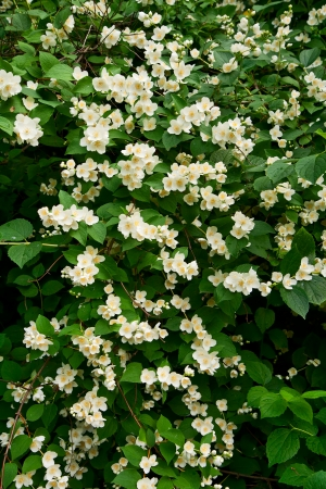 philadelphus: Flowering Bush Philadelphus, floral background