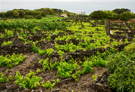 agriculture azores: typical vineyard in Pico, Azores