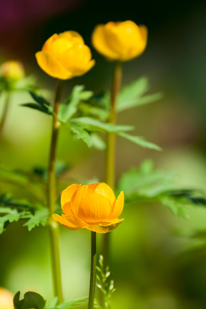 Three flowers Trollius europaeus closeup on the background of green leaves photo