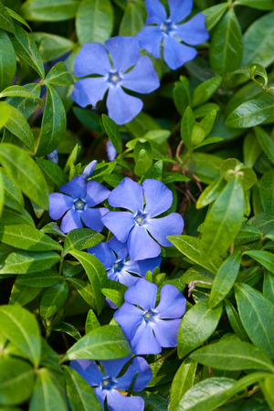 Bright periwinkle blue flowers on background of green leaves