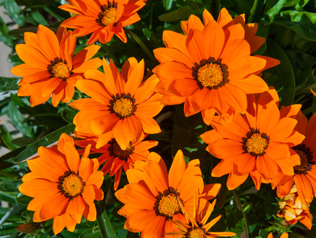 Beautiful blooming orange gazania on a bed in the garden