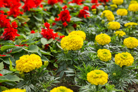 tagetes: Floral background - yellow Tagetes and red Salvia