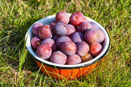 alycha: Plums in a bowl on a grass in a garden