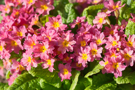Primula flowers in the flowerbed on a sunny day