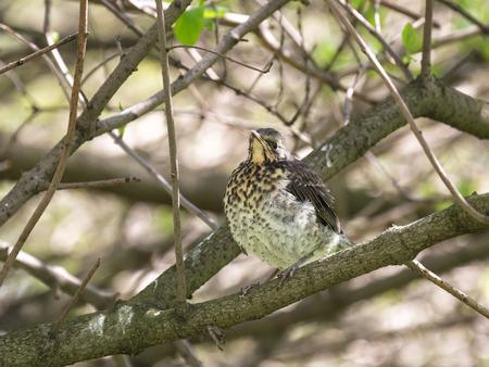 nesting: Fieldfare chick fledgling sitting on a bush branch Stock Photo