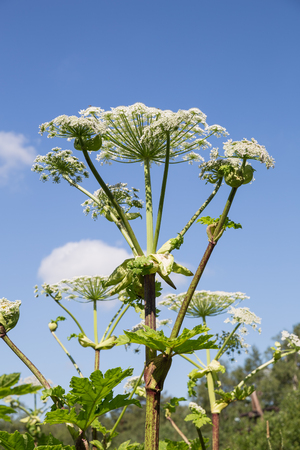 Giant Hogweed inflorescence against the blue sky