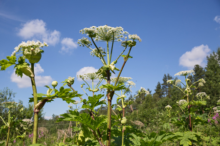 Giant Hogweed inflorescences on the background of blue sky