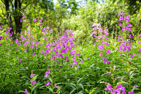 Thickets of willowherb in a forest glade Zdjęcie Seryjne