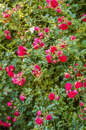 Natural floral background. Climbing roses of the old Excelsa variety. Small red flowers on a background of green leaves