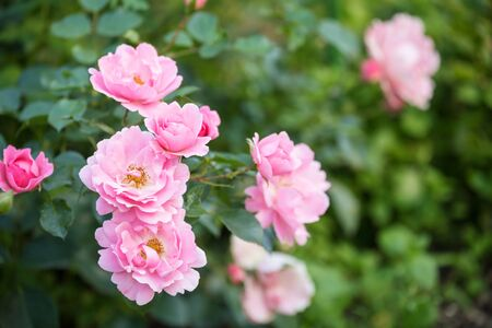 Flowering shrub roses in a garden. Delicate pink flowers Rose Sommerwind