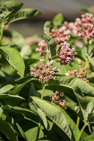 Milkweed flower (Asclepias syriaca), flowering plant 写真素材 - 137602019