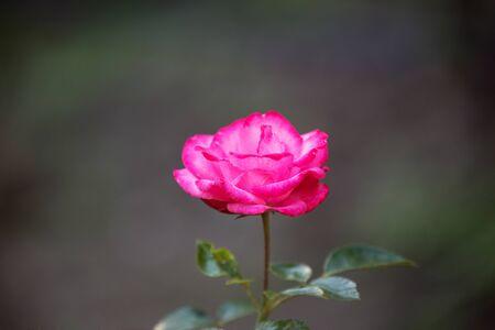 Pink rose on dark background. One flower varieties Bella Rosa in the garden 写真素材 - 137601664