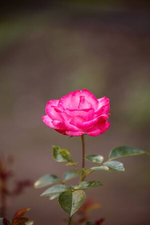 Pink rose in the garden. One flower varieties Bella Rosa on dark background 写真素材 - 137602787