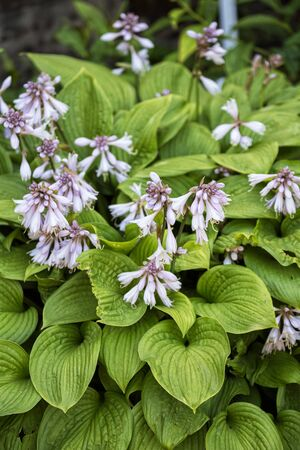 Blooming Hosta. Hosta is an ornamental flowering plant with delicate light lilac flowers and beautiful leaves. 写真素材