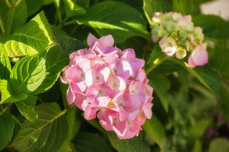 Pink hydrangea or hortensia flower in the garden. Beautiful natural background 写真素材 - 137799899