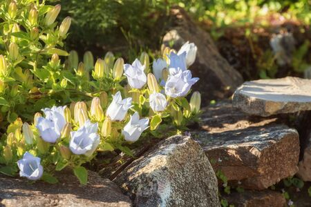 Campanula flowers. Fragment of the garden, white bellflower spreads over stones along path 写真素材 - 137800418