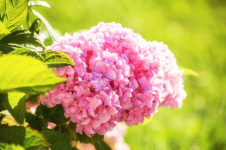 Large pink hydrangea hortensia flower in garden lit by sun. Beautiful natural background