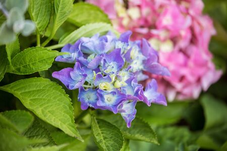Blue-white and pink hydrangea or hortensia flowers in the garden. Beautiful natural background.