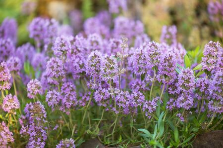 Thyme (Thymus) aromatic herb, blooms with pink-purple flowers