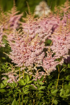 Pink Astilbe Flowers. Astilbe panicle inflorescences close-up