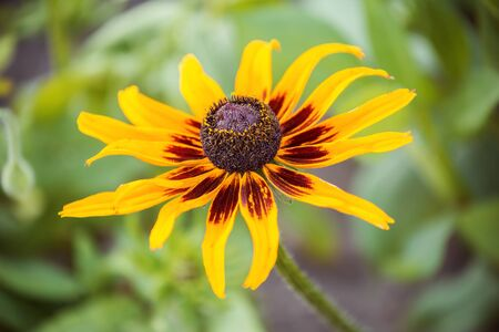 One flower of rudbeckia (coneflowers) close-up 写真素材