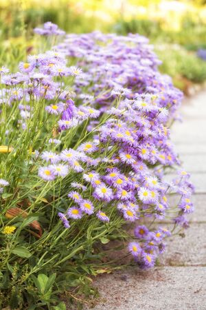 Perennial aster (Aster amellus or European Michaelmas-daisy) in garden. Border of flowers along the walkway