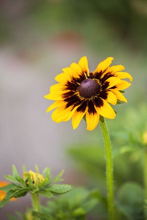 Rudbeckia flower (coneflowers) close-up on a blurred background 写真素材