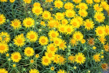 Natural floral background. Many yellow flowers of Inula ensifolia. Medicinal plant 写真素材