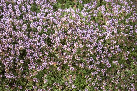 Blooming Thymus citriodorus (lemon thyme or citrus thyme) in garden. Natural floral background