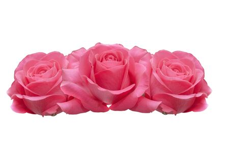 Three pink roses isolated on a white background