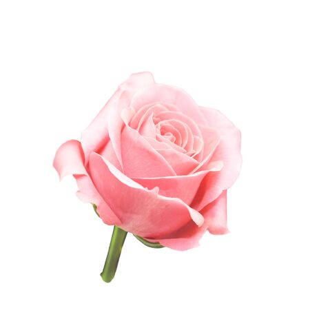 One pink rose flower isolated on white background