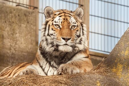 Siberian or Amur Tiger at the zoo. Tiger sits in the aviary of the zoological garden Imagens
