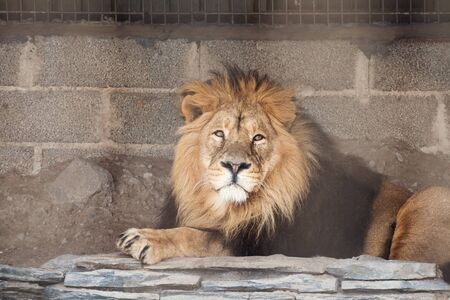 Sad lion in the zoo. Lion male with mane lies against stone wall