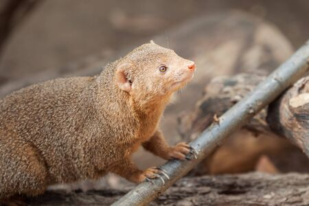 Curious dwarf mongoose (Helogale parvula) in a zoo cage