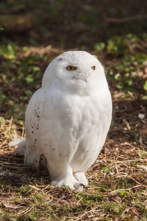 Snowy or Arctic Owl in summer at the zoo