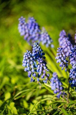 Muscari armeniacum or grape hyacinth, first spring flowers close-up