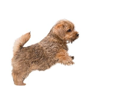 Charming Norfolk Terrier puppy stands on its hind legs, profile view. Isolated on white background 写真素材