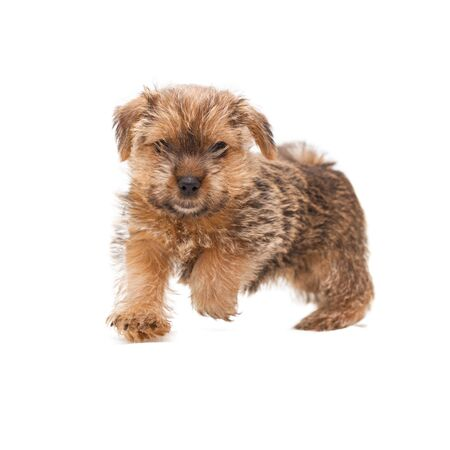 Little cute puppy Norfolk Terrier running full face isolated on white background 写真素材