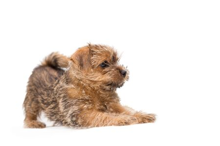 Playful puppy Norfolk Terrier isolated on a white background