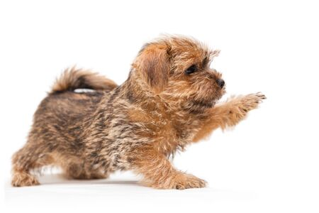 Little cute puppy Norfolk Terrier with raised paw, profile view, isolated on white background