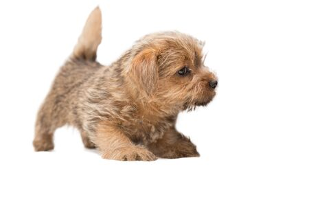 Little cute Norfolk Terrier puppy is standing and looking warily, isolated on white background 写真素材