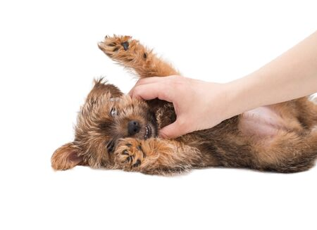 Female hand stroking puppy Norfolk Terrier lying on his back