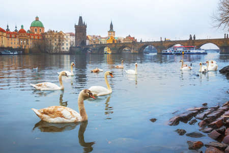 Swans on the Vltava river against the background of Charles Bridge, Prague, Czech Republic. Selective focus.