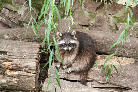 Sad raccoon sitting on a tree trunk at the zoo