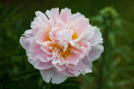 Blooming pale pink peony in the garden. Big beautiful flower with raindrops on a background of green foliage