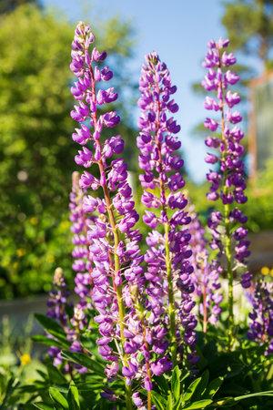 Blooming purple lupine flowers illuminated by sunlight 免版税图像