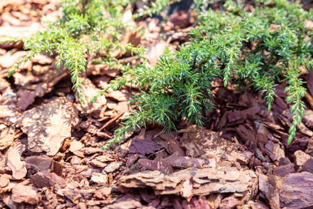 Branches of creeping juniper on larch bark mulch. Gardening, caring for decorative conifers