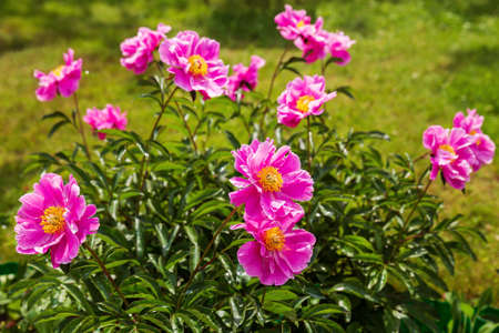 Blooming peony bush with simple bright pink flowers