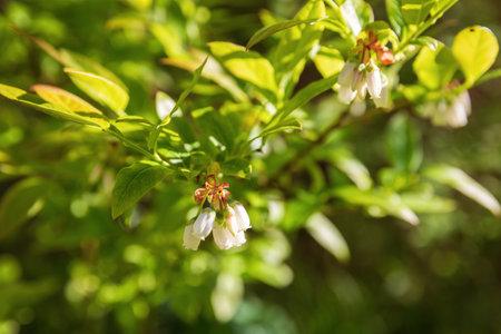 Northern highbush blueberry flowering bush (Vaccinium corymbosum)